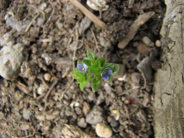 blue flower weed-1
