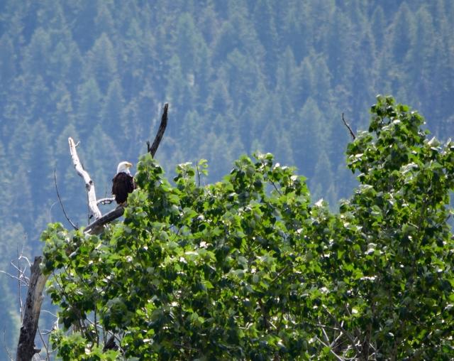 Mom Eagle